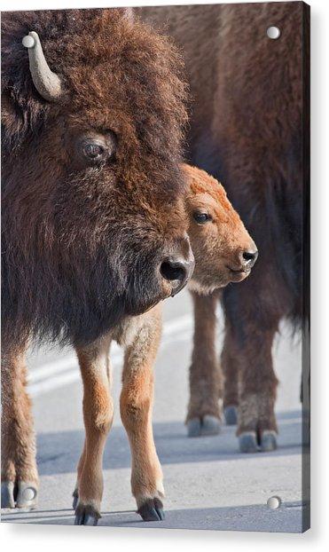 Bison And Calf Acrylic Print