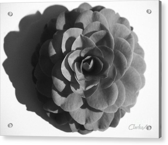 Camellia In Black And White Acrylic Print