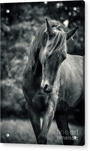 Black And White Portrait Of Horse Acrylic Print