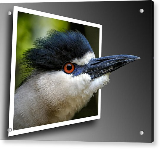 Black Crowned Night Heron Out Of Bounds Acrylic Print