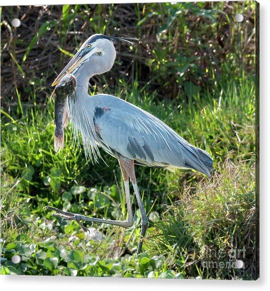 Blue Heron With Fish Acrylic Print