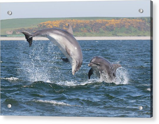 Bottlenose Dolphin - Moray Firth Scotland #49 Acrylic Print