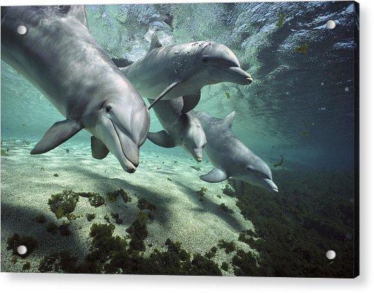 Four Bottlenose Dolphins Hawaii Acrylic Print