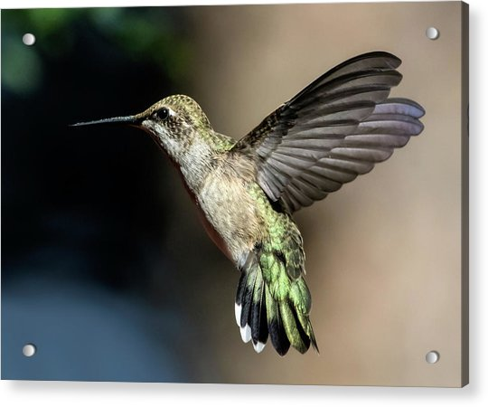 Broad-tailed Hummingbird Female Acrylic Print
