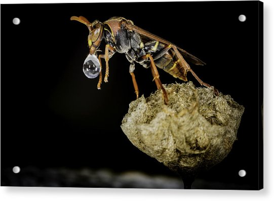 Bubble Blowing Wasp Acrylic Print
