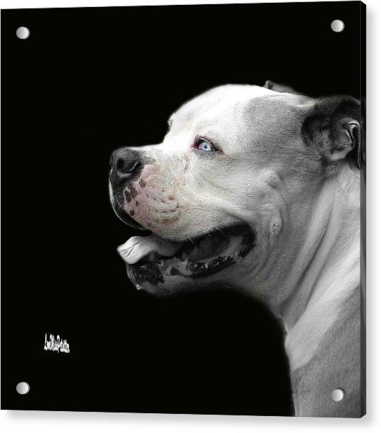 Bulldog Sando  Portrait  Acrylic Print