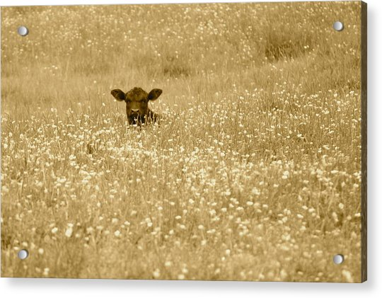 Buttercup In Sepia Acrylic Print