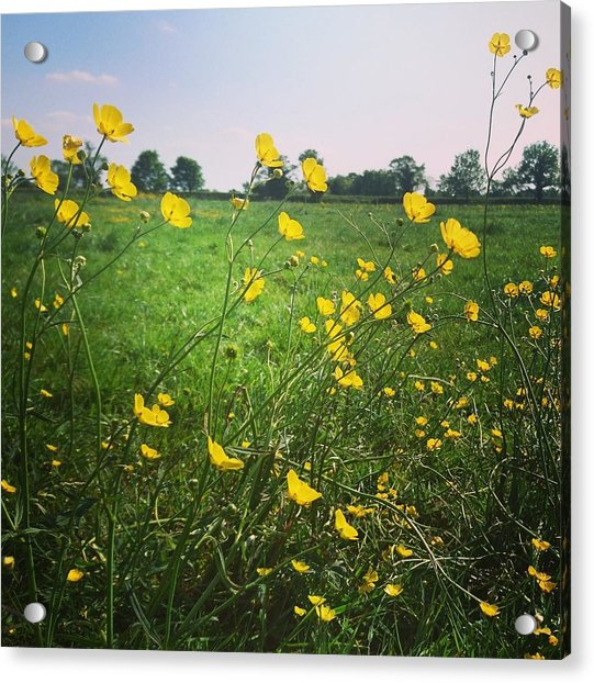 Buttercups Meadow Acrylic Print