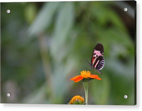 Butterfly 16 Acrylic Print