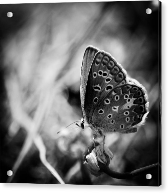 Acrylic Print featuring the photograph Butterfly In Black And White by Mirko Chessari