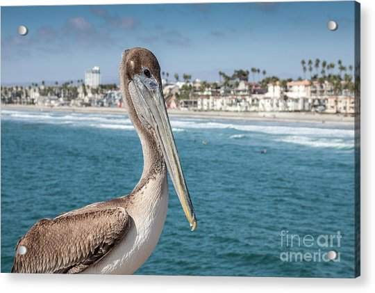 California Pelican Acrylic Print