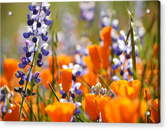 California Poppies And Lupine Acrylic Print