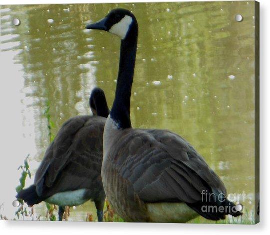 Canada Goose Edge Of Pond Acrylic Print