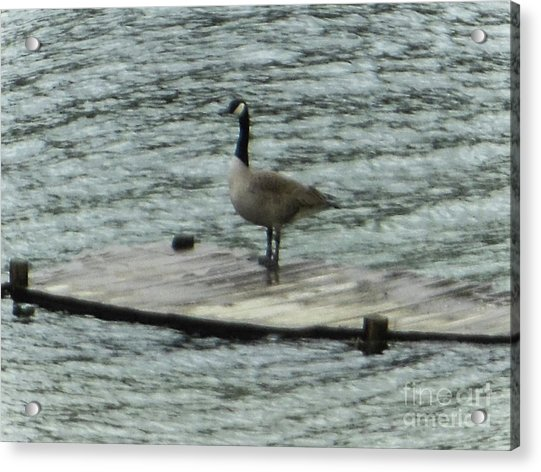 Canada Goose Lake Dock Acrylic Print