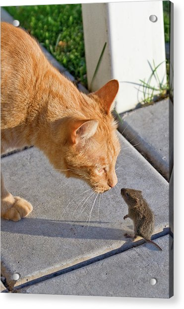 Cat And Mouse Acrylic Print