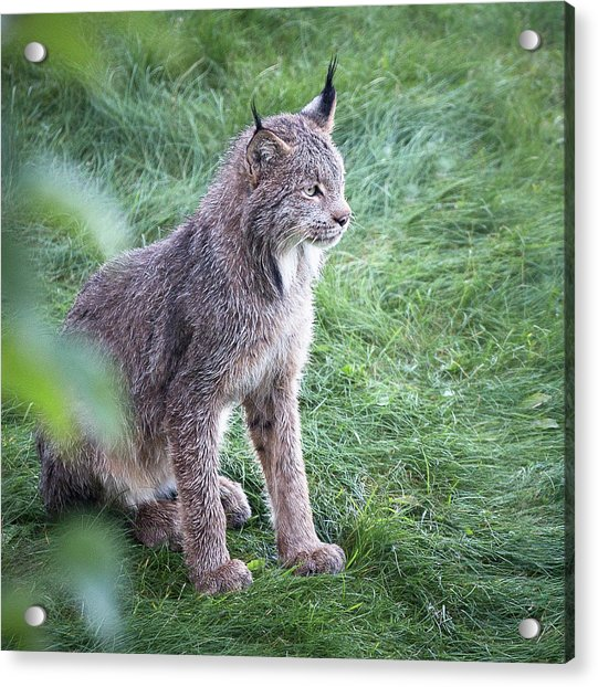 Acrylic Print featuring the photograph Champion Mama Lynx by Tim Newton