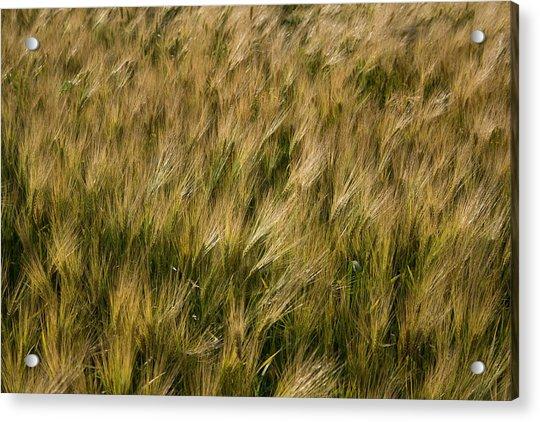 Changing Wheat Acrylic Print