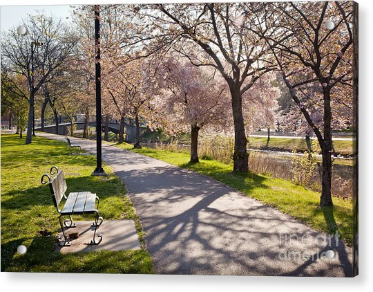 Charles River Cherry Trees Acrylic Print