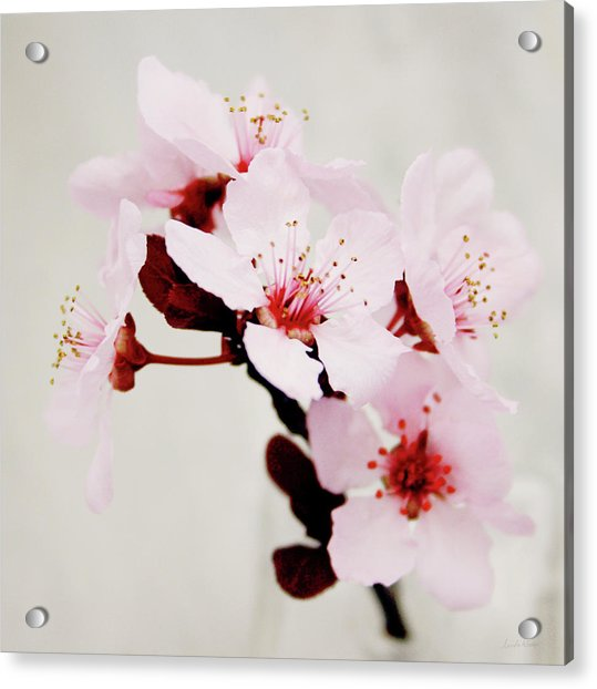 Cherry Blossoms 1- Art By Linda Woods Acrylic Print