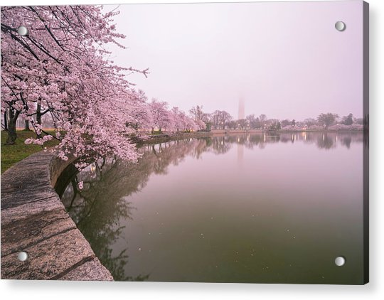 Cherry Blossoms In Fog Acrylic Print by Michael Donahue