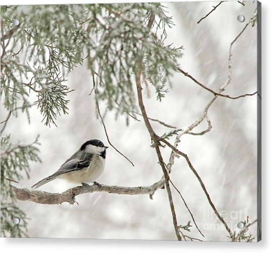 Chicadee In A Snow Storm  Acrylic Print