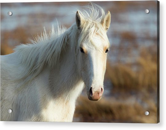 Chincoteague White Pony Acrylic Print