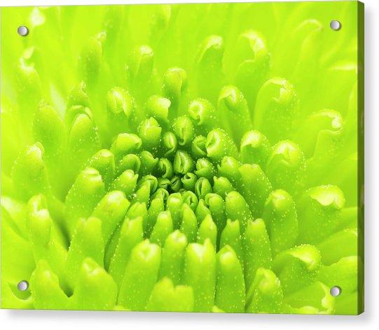 Chrysanthemum Macro Acrylic Print