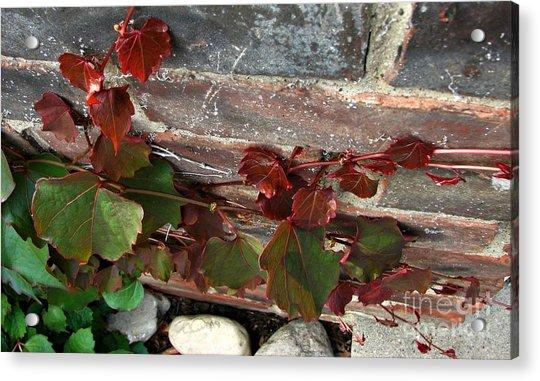 Climbing Ivy Acrylic Print