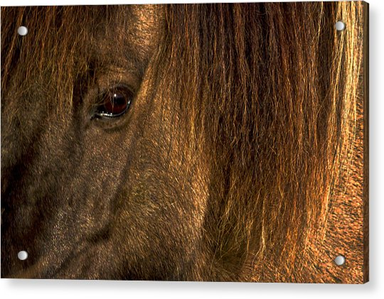 Closeup Of An Icelandic Horse #2 Acrylic Print