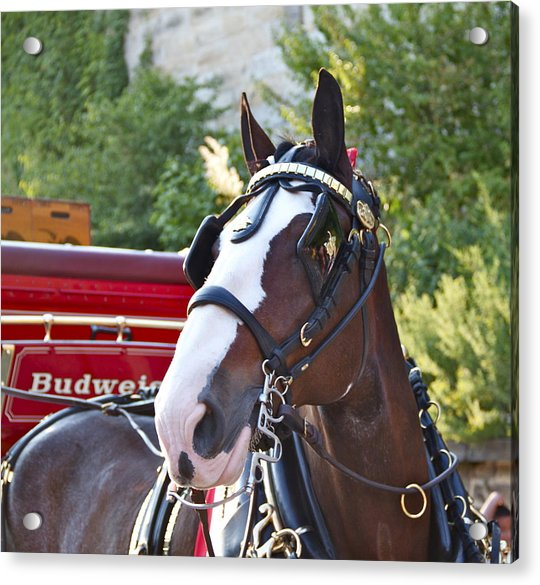 Acrylic Print featuring the photograph Clydesdale At Esp by Alice Gipson