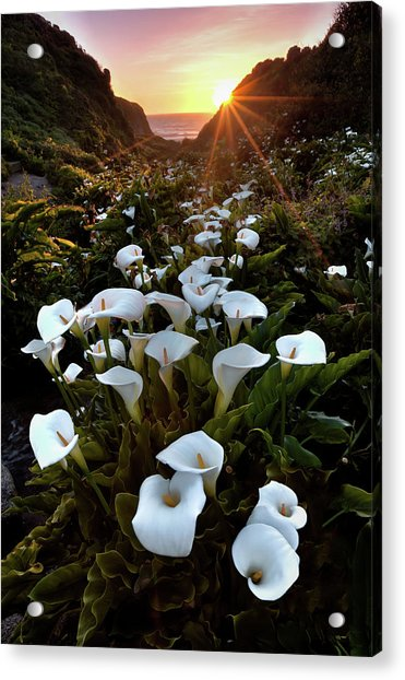 Coastal Calla Lilies Acrylic Print