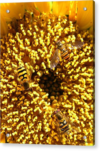 Colour Of Honey Acrylic Print