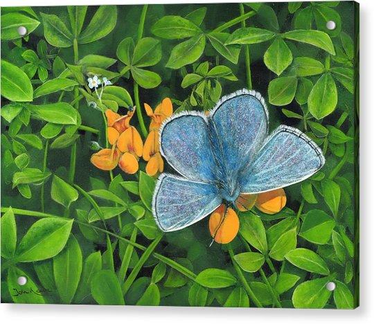 Common Blue On Bird's-foot Trefoil Acrylic Print