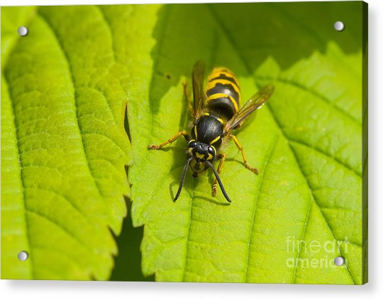 Common Wasp Acrylic Print