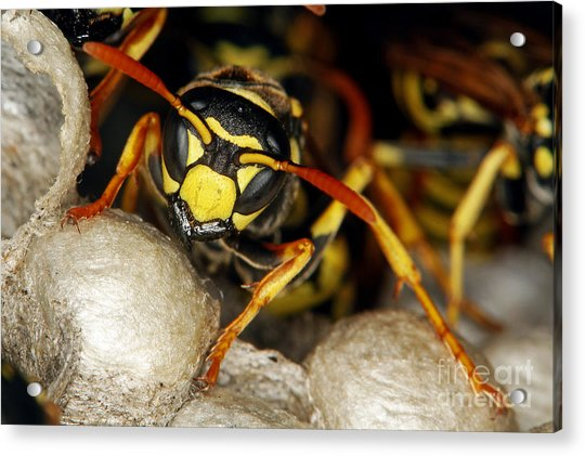 Common Wasp Vespula Vulgaris Acrylic Print