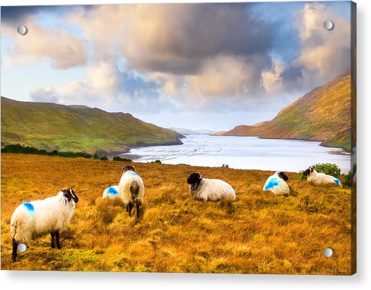 Connemara Sheep Grazing Over Killary Fjord Acrylic Print by Mark Tisdale