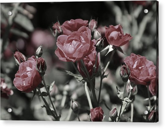 Copper Rouge Rose In Almost Black And White Acrylic Print