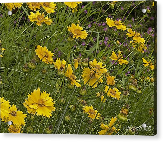 Coreopsis And Mexican Heather Acrylic Print