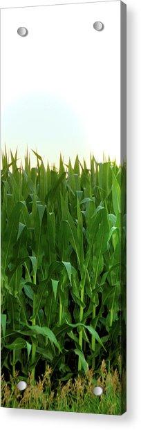 Corn Of July Acrylic Print