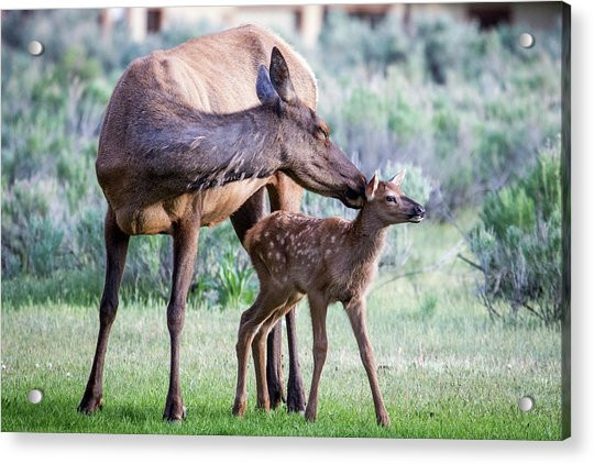Cow And Calf Elk Acrylic Print