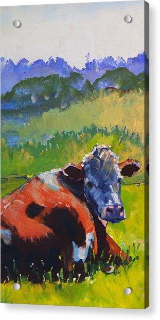 Cow Lying Down On A Sunny Day Acrylic Print