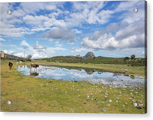 Reflected Cows  Acrylic Print