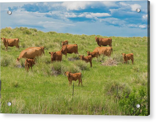 Cows In Field 1 Acrylic Print