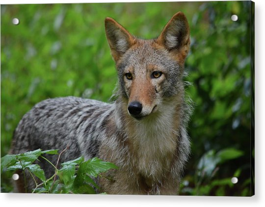 Coyote On The Prowl  Acrylic Print
