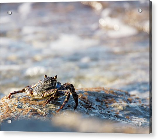 Crab Looking For Food Acrylic Print