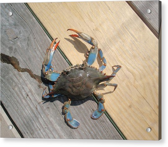 Crabby Blue Acrylic Print