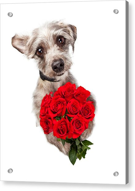 Cute Dog With Dozen Red Roses Acrylic Print