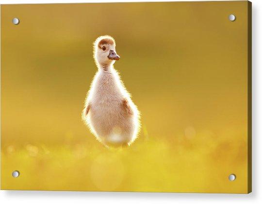 Cute Overload - Baby Gosling Acrylic Print