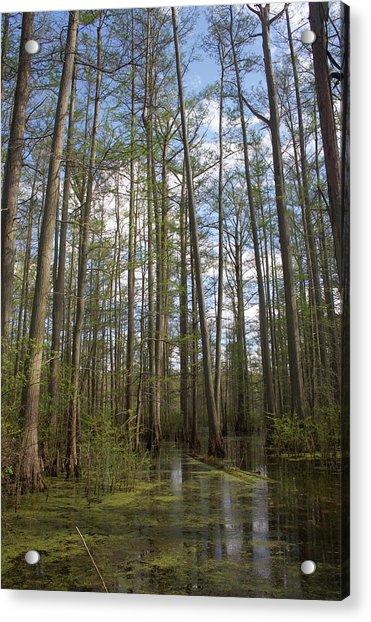 Cypress Pond Acrylic Print