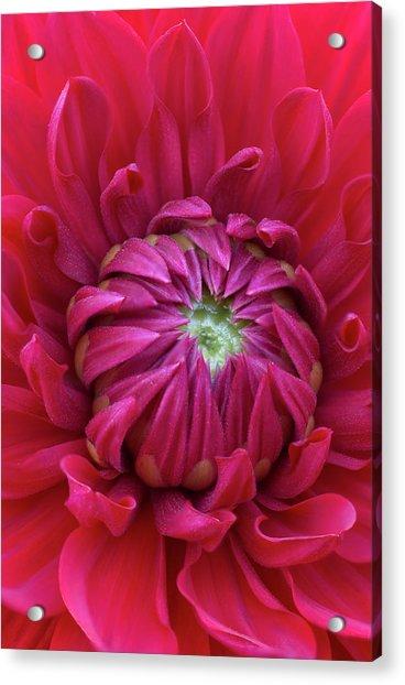Dahlia Heart Acrylic Print